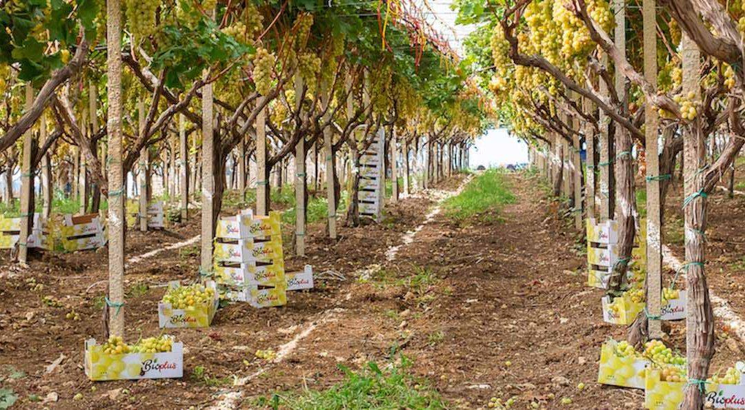 Bioplus, raisin de table bio en Sicile. Cette année aussi sans pépin